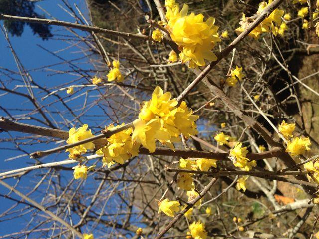 黄色梅がちらほら咲いていました。_熱海梅園