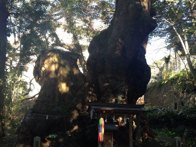 大楠の写真です。_来宮神社の大楠