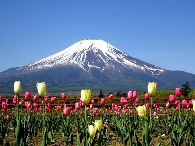 チューリップと富士山のコラボ_山中湖 花の都公園