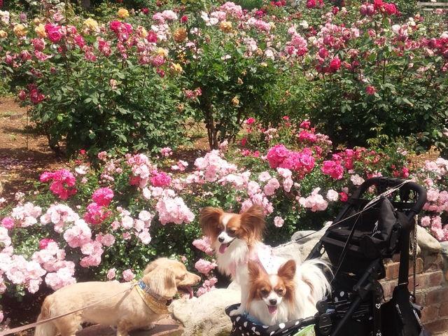 ワンちゃん同伴OKです。 薔薇もとても綺麗です。_山梨県フラワーセンター・ハイジの村