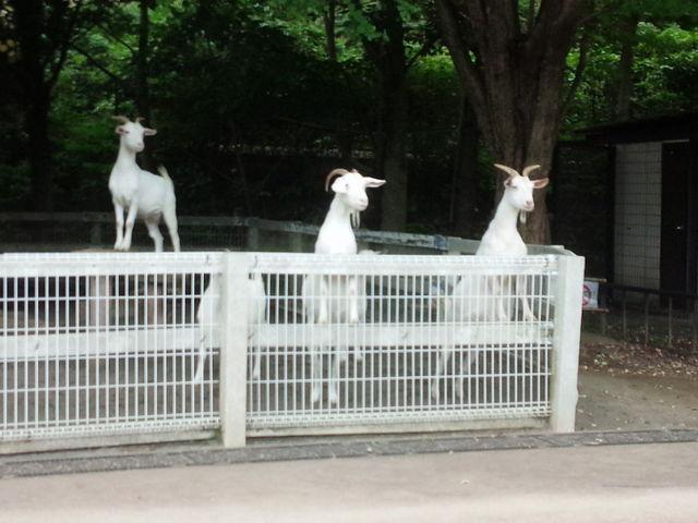 好奇心旺盛なヤギたち_小田原こどもの森公園わんぱくらんど