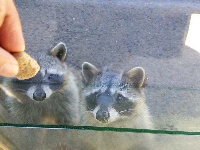 必死なアライグマ…必死すぎて、私は、エサを3つ買いました(笑)_長崎バイオパーク