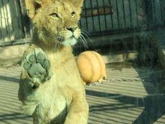 ナコさんの桐生が岡動物園の投稿写真1ライオン