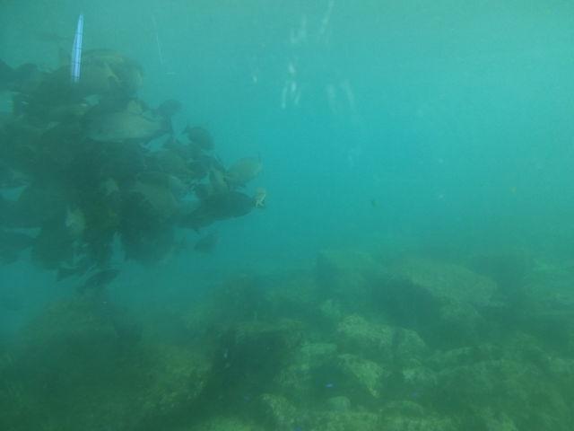 魚がえさに群がってます_白浜海中展望塔 (コーラルプリンセス)