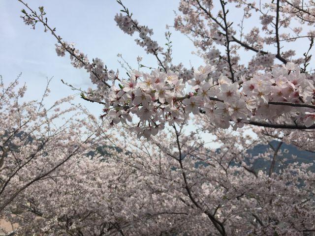 遠くに見える山並みに桜が映えます_立山公園