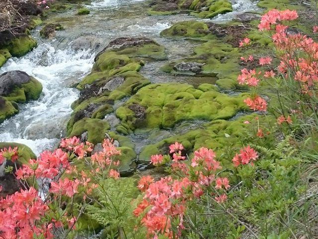 渓流とコケそしてつつじ_チャツボミゴケ公園