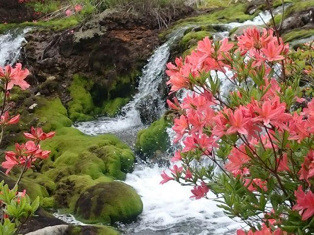 チャツボに落ち込む滝、青々としたコケ・満開のつつじ抜群のコントラストです。_チャツボミゴケ公園