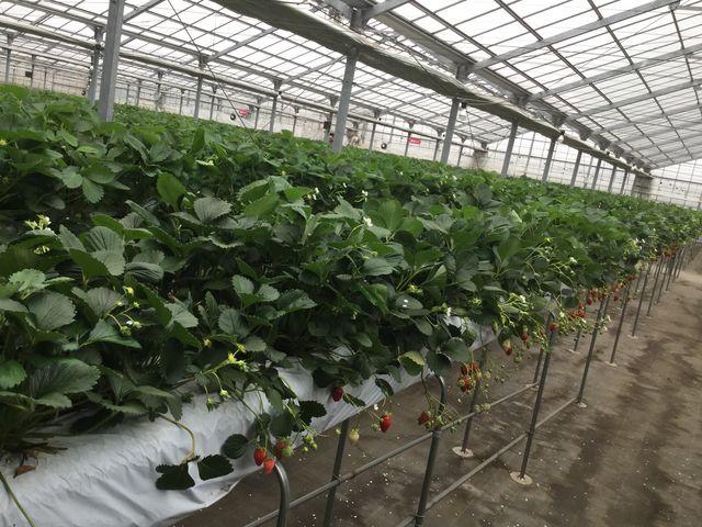 大きな農園_所沢北田農園 苺のマルシェ