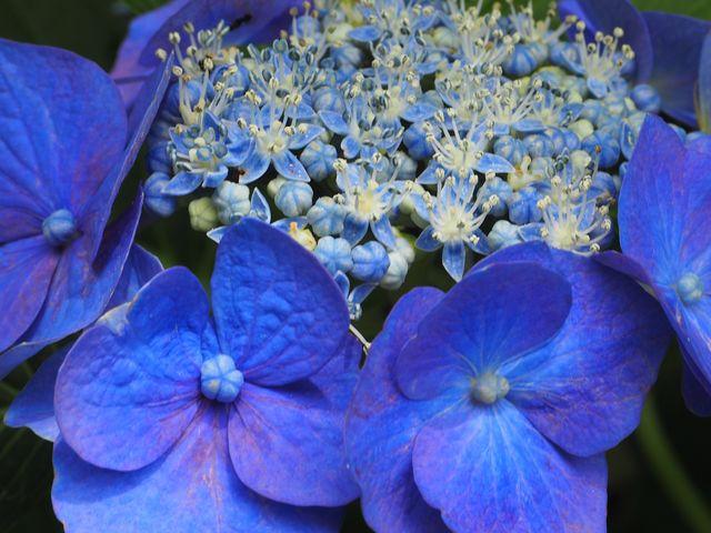 額アジサイ ブルーが美しい_三室戸寺のアジサイ