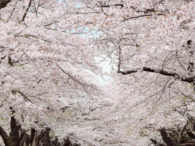 桜のトンネル_北上市立公園展勝地