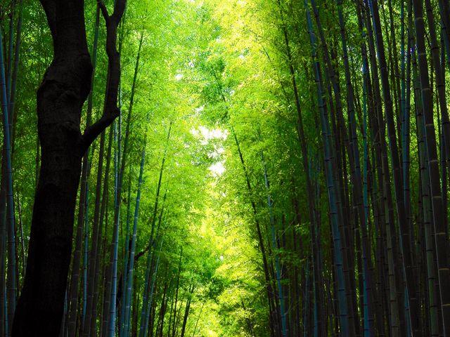緑が濃くてステキです_竹林の道