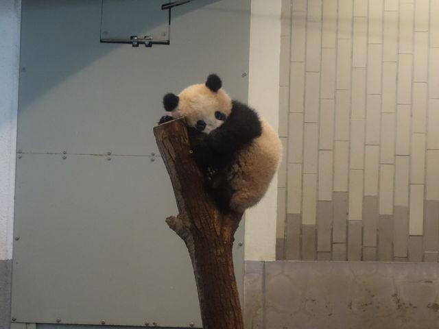 シャンシャン_上野動物園