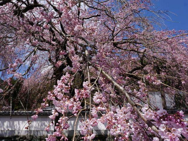 明王寺しだれ桜