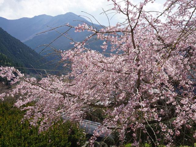 裏山の垂れ桜にて_明王寺しだれ桜