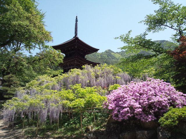 藤、つつじ、三重塔が綺麗!_前山寺の藤の花
