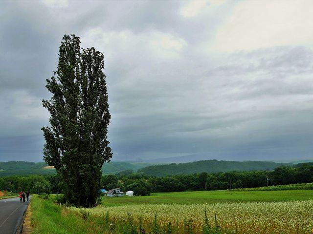 さまざまな色合いの作物の畑の中に有るケンとメリーの木(見学は自由 駐車場も近くに有ります)_ケンとメリーの木