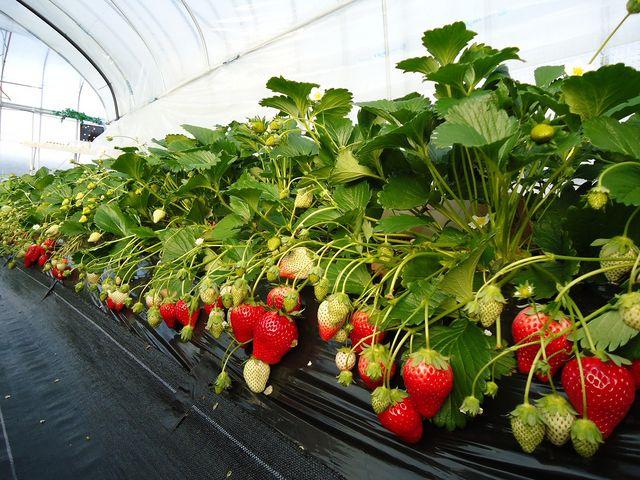 土耕栽培で育てたおいしいいちご♪_日光ストロベリーパーク