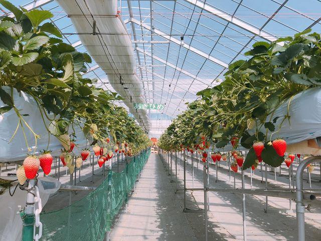 高設栽培で摘みとりが楽にできます★_ベリーズファーム FUSHIMI