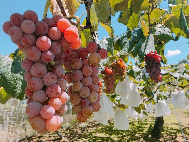 大自然の恵みをいっぱいに受けてすくすく育ったぶどうです。_農業法人 今田平