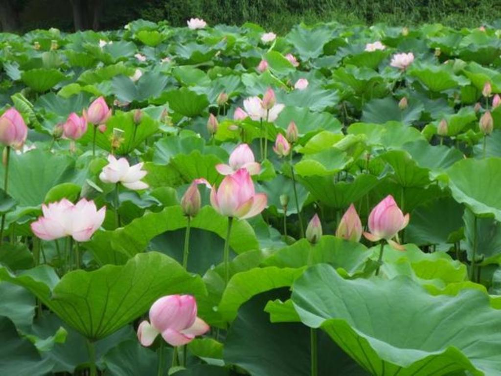 全国】夏の花、ハス・スイレンの名所31選。幻想的で美しいその姿は見る ...