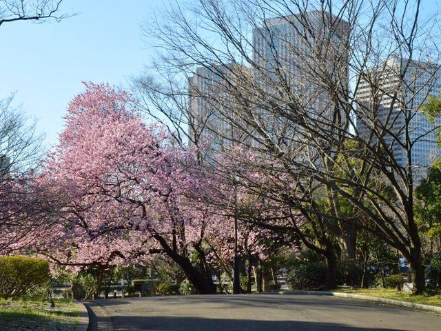 憲政記念館庭園の桜_衆議院憲政記念館