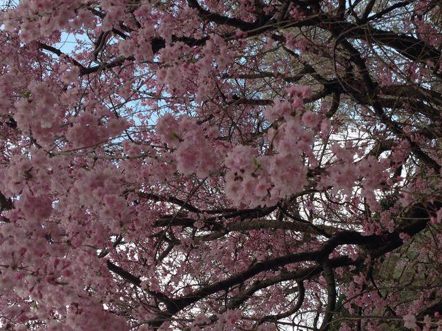 もう一種類桜が_福岡城跡