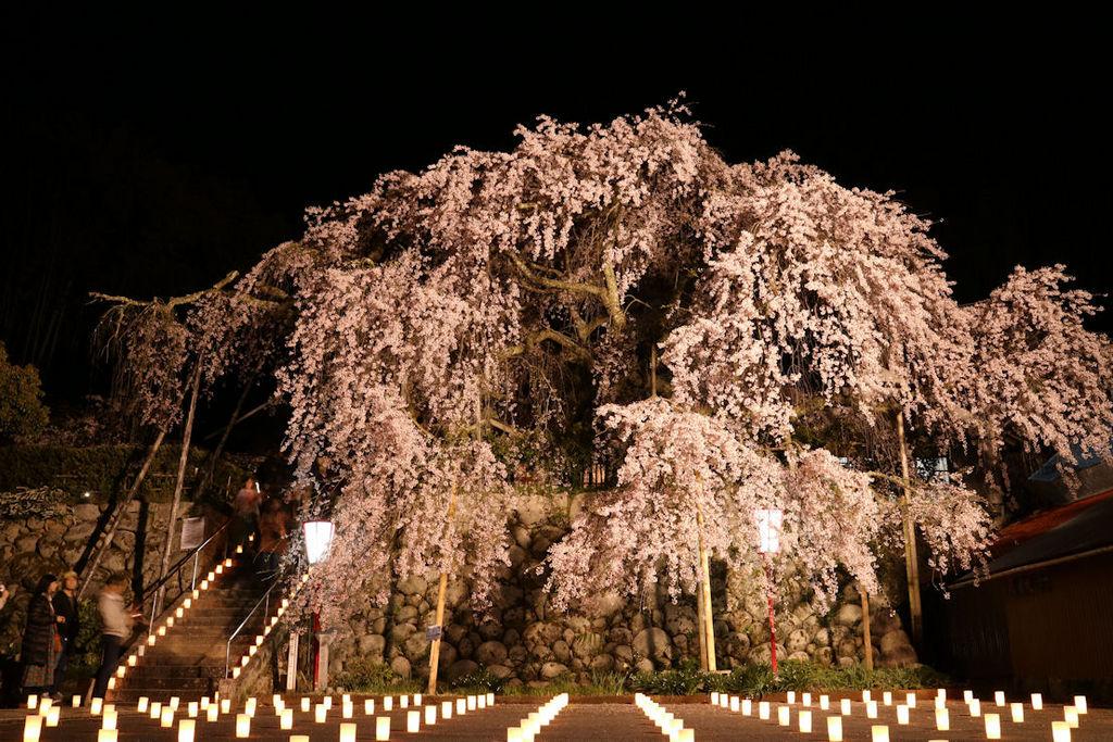 吉田のしだれ桜