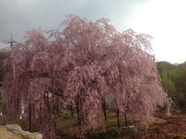 五色台の新名所「想い出桜」_五色台