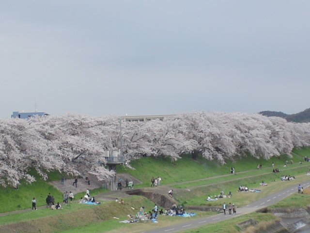 河川敷の花見_後楽園の梅・桜・ツツジ