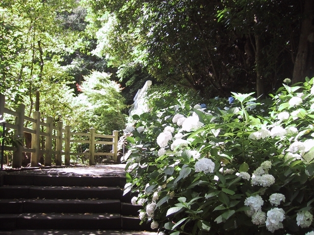 境内に咲く紫陽花_大塔宮 鎌倉宮