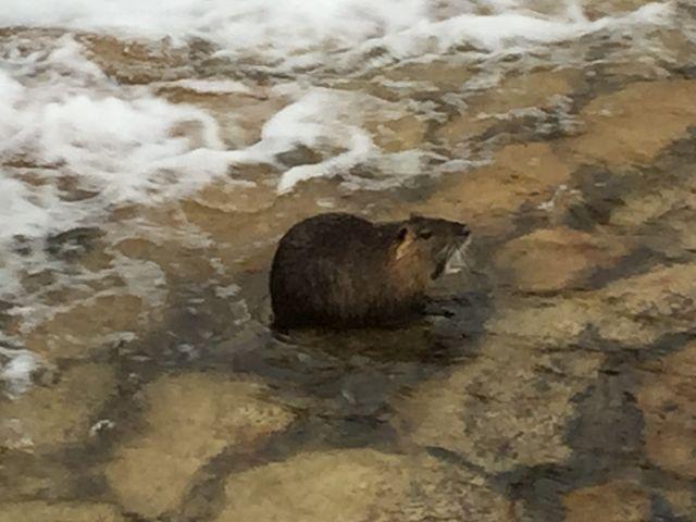住吉川でカピバラみたいな動物を発見しました。鴨や鷺などはよく見かけますが、びっくりポンです。_住吉川清流の道