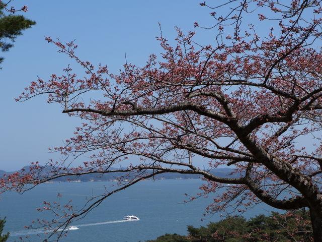 満開までまだ少し早かったですが、松島湾を見渡せる風景と桜の景色は綺麗でした。_西行戻しの松公園の桜