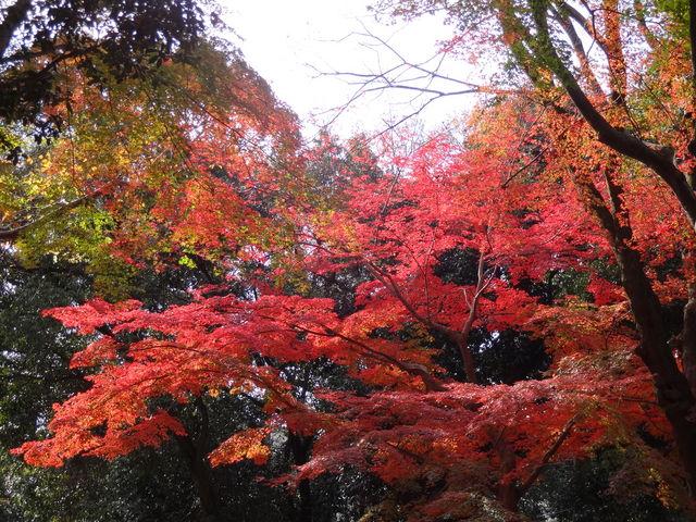 糺の森の紅葉。 まもなく見頃。_下鴨神社(賀茂御祖神社)