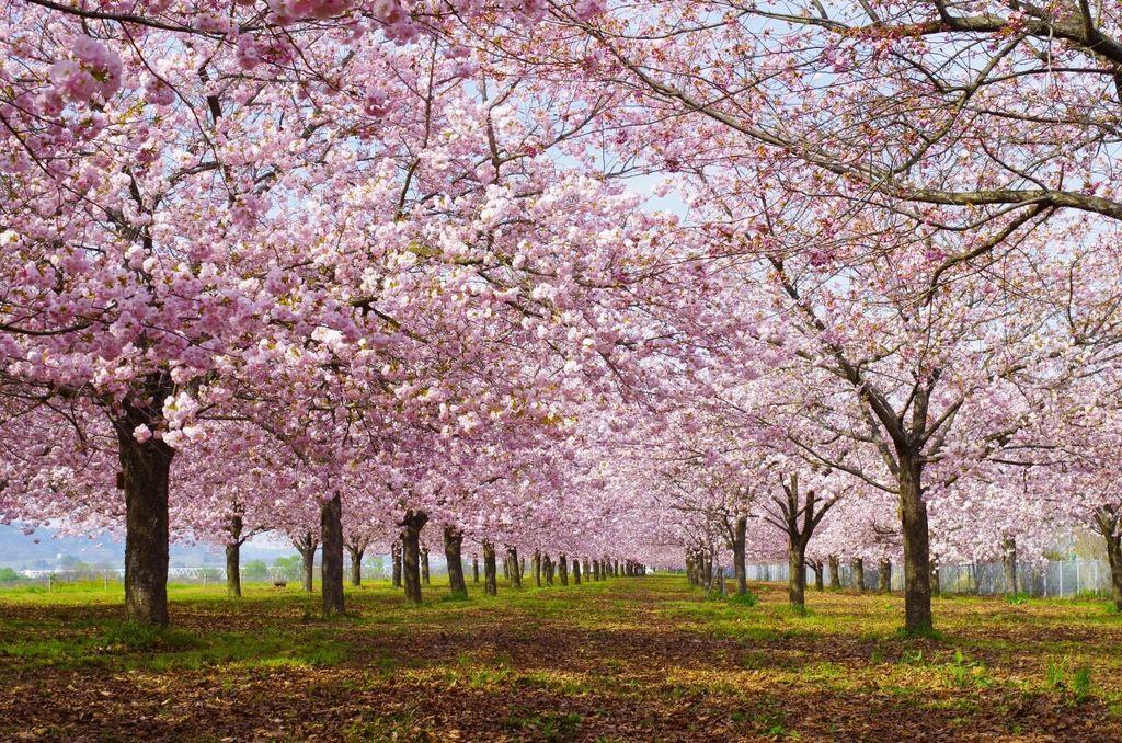 千曲川堤防の桜堤