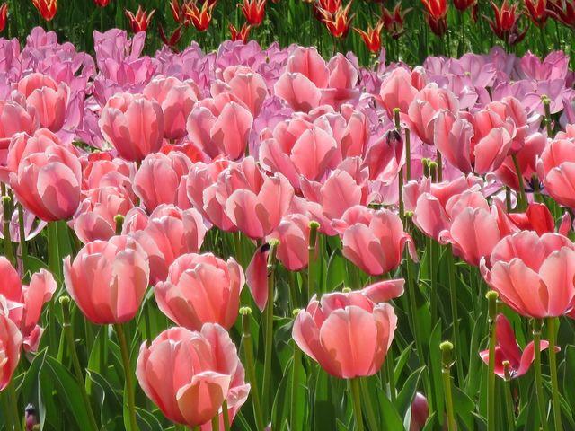 ピンクのチューリップ_横浜公園のチューリップ
