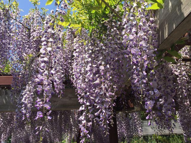 藤の花 香りがたくさんです。_百合が原公園