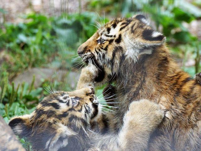 ジャレ合う子供_旭山動物園