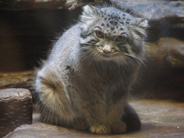 マヌル猫_上野動物園