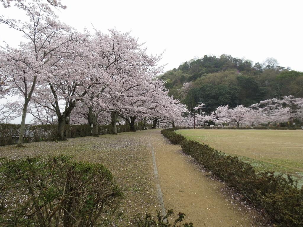 龍野公園の桜