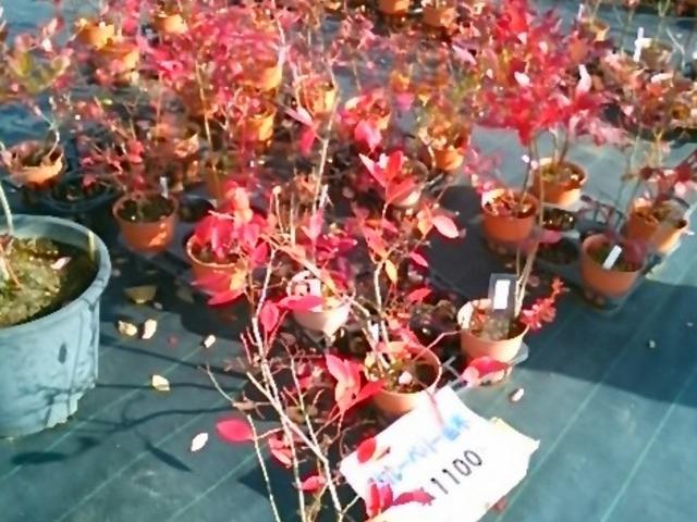 『紅い葉のブルーベリーの苗木』。_河口湖自然生活館