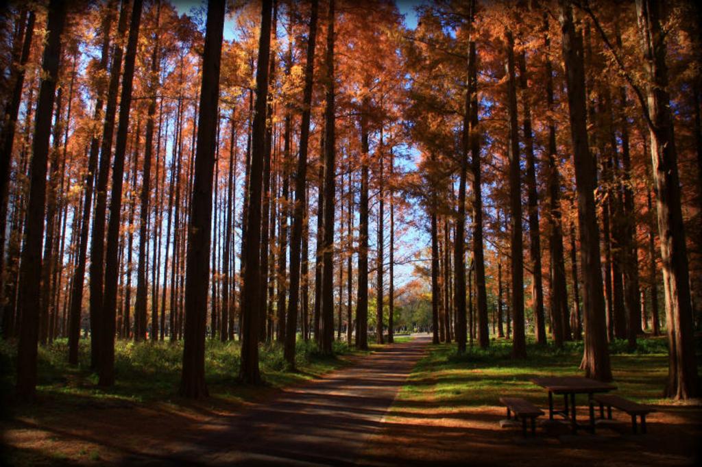メタセコイアの森(水元公園)