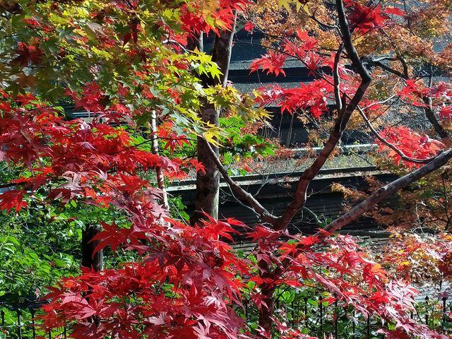 紅葉が、上にも下にも見ることができました。 しかも、お菓子付きですよ。_北野天満宮(天神さん)