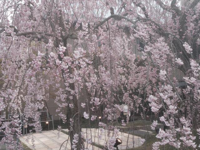 桜_岡崎公園
