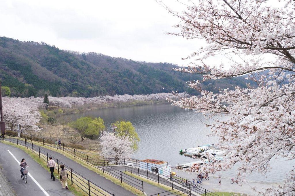 土師ダム周辺の桜