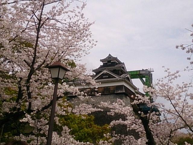 満開の桜の中、クレーンを背景にした熊本城。復興を願います!_熊本城の桜