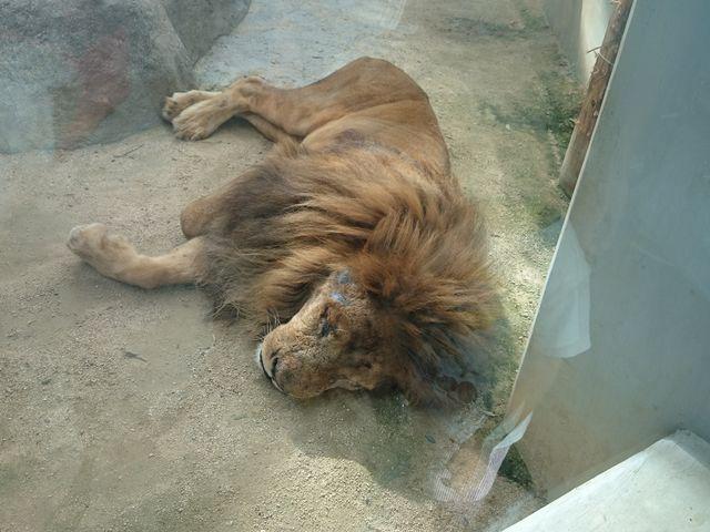 ライオン_福山市立動物園