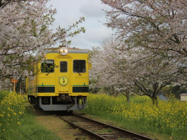 4月初めならピンクの桜と黄色の菜の花のコラボ_いすみ鉄道