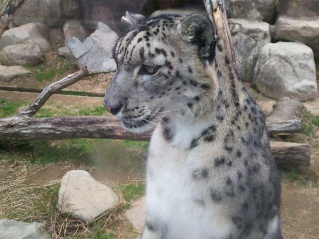 ユキヒョウ 痩せているのが気になりました_神戸市立王子動物園