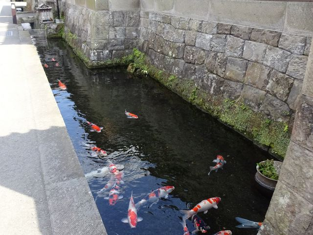 さりげなく泳いでいます。_一般財団法人 飫肥城下町保存会