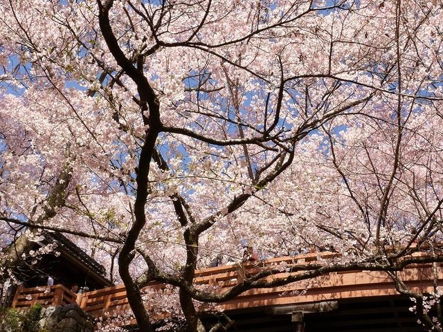高遠の桜 _高遠城跡
